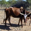 Vache namibienne